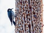The Granaries of Acorn Woodpecker
