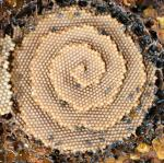 The Spiral Hives of Sugarbag Bees