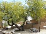 The Jail Tree of Wickenburg