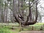 The Octopus Tree of Oregon