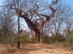 The Leper Tree of Malawi