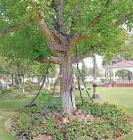 The Tree That Was Arrested